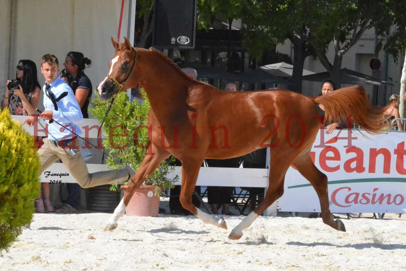 Concours National de Nîmes de chevaux ARABES 2014 - Notre Sélection - DZHARI NUNKI - 06