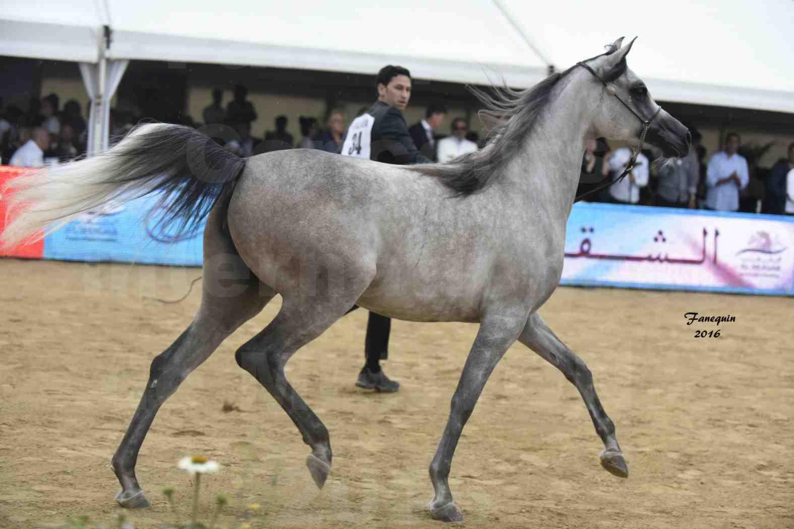 Championnat du pur-sang arabe de la Méditerranée et des pays arabes - MENTON 2016 - BOHOUR  AL SHAQAB - Notre Sélection - 7