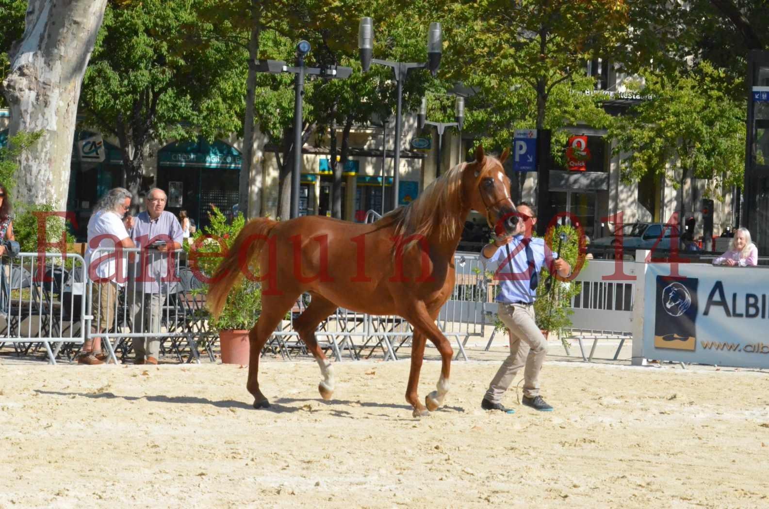 Concours National de Nîmes de chevaux ARABES 2014 - Championnat - MASSAI DE BARREL - 47