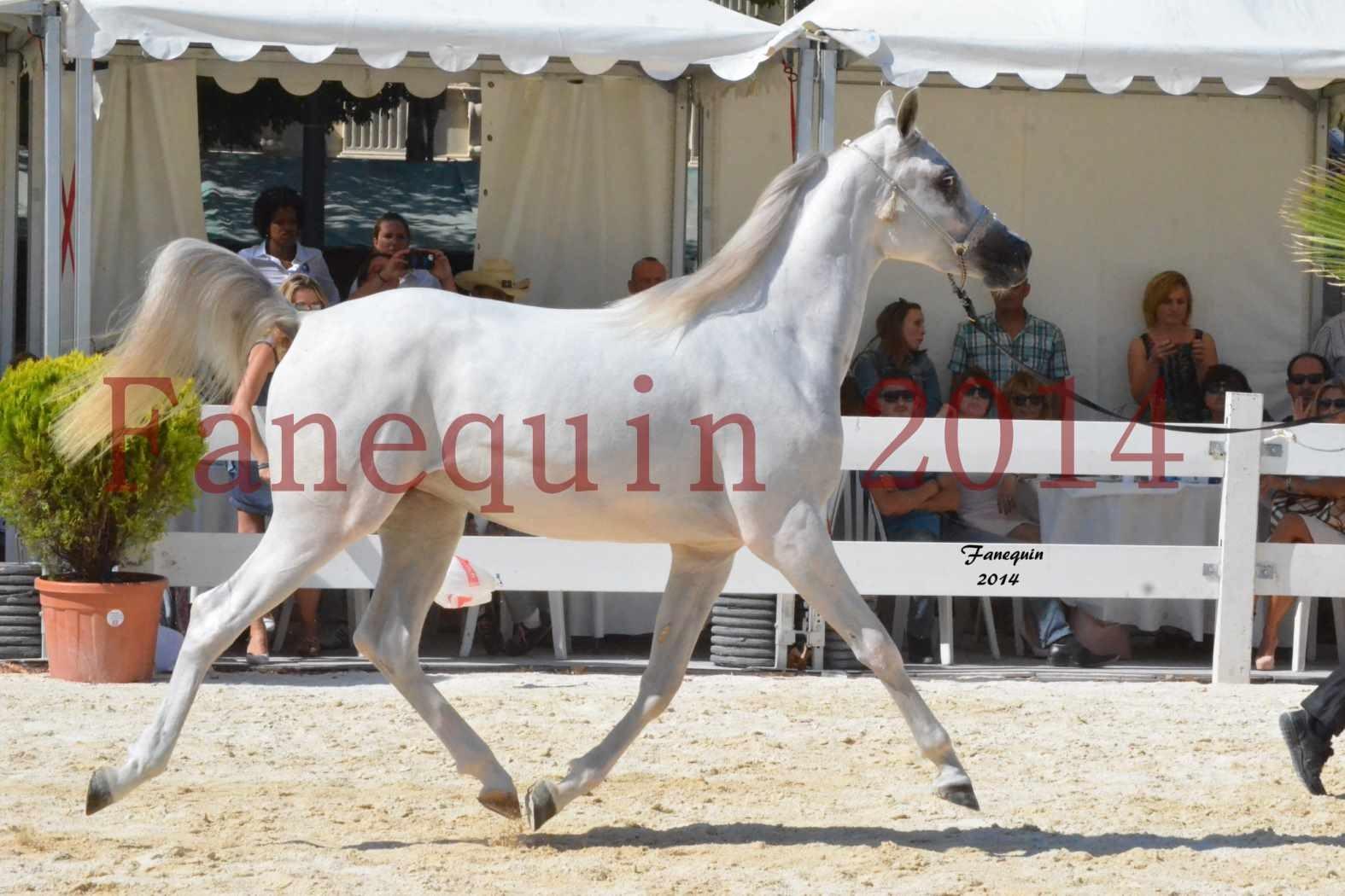 Concours National de Nîmes de chevaux ARABES 2014 - ENVY ETERNITY - 06