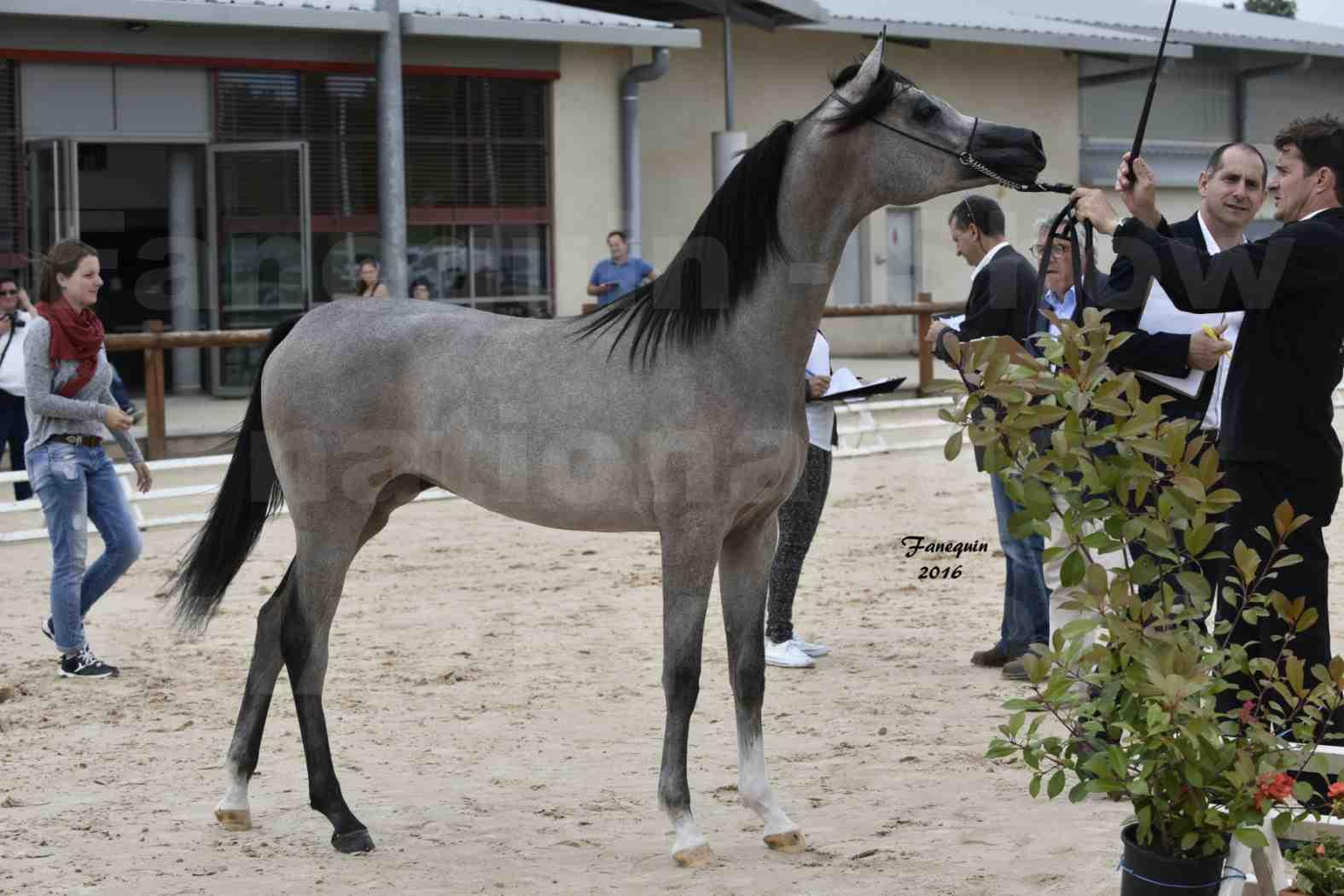 Show national de chevaux arabes de CHAZEY sur AIN 6 HAÏFA AL ADEYAT - 3