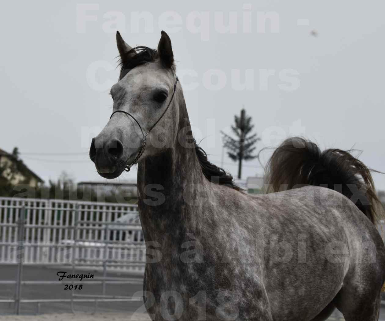 Concours d'élevage de Chevaux Arabes - Demi Sang Arabes - Anglo Arabes - ALBI les 6 & 7 Avril 2018 - PERCEVAL DE LAFON - Notre Sélection - Portraits - 03