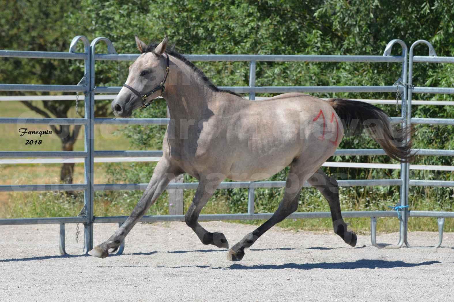 Concours d'Elevage de chevaux Arabes  le 27 juin 2018 à la BOISSIERE - GAZRAK D'AURIERES - 06