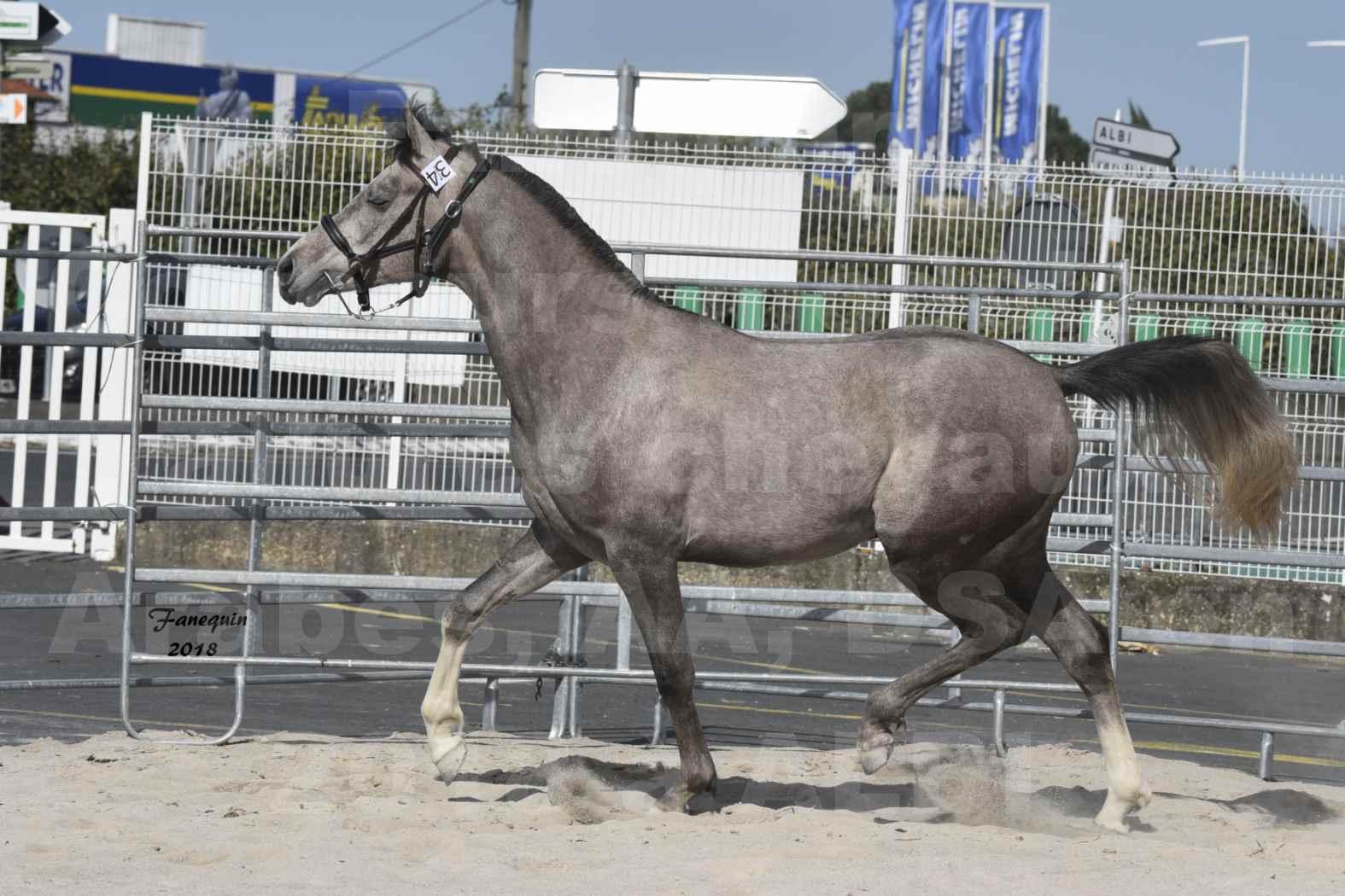 Concours d'élevage de Chevaux Arabes - D. S. A. - A. A. - ALBI les 6 & 7 Avril 2018 - GRIMM DE DARRA - Notre Sélection - 5