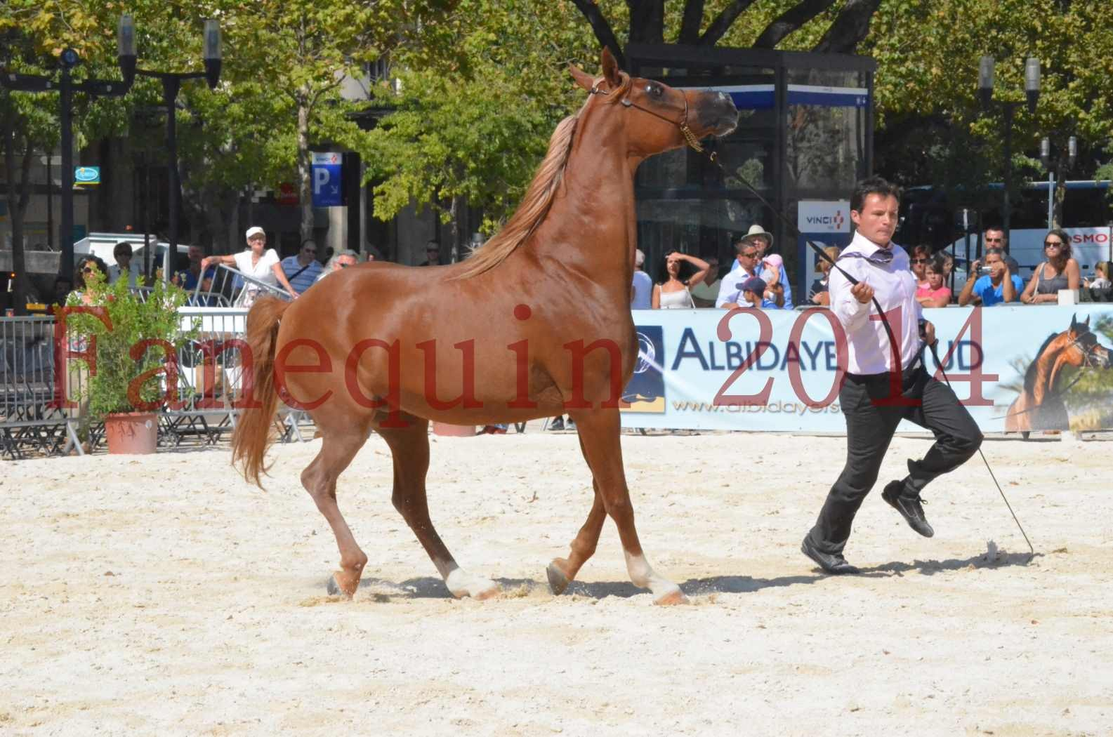 Concours National de Nîmes de chevaux ARABES 2014 - Championnat - MASSAI DE BARREL - 32