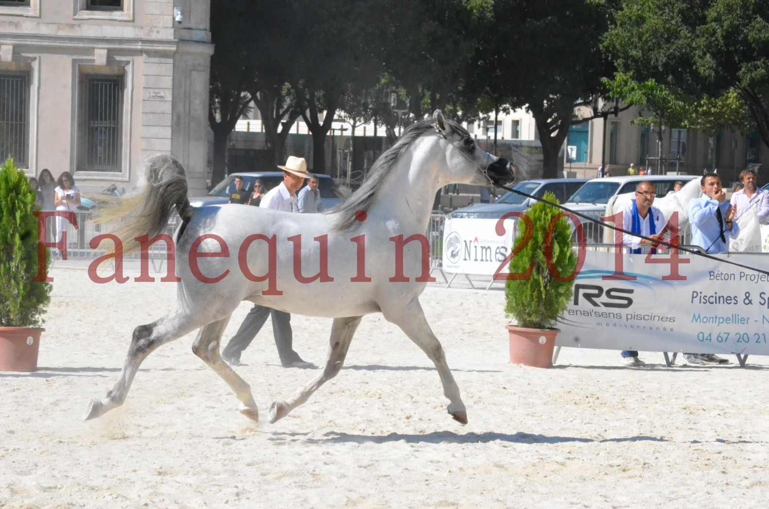 Concours National de Nîmes de chevaux ARABES 2014 - Sélection - SHAOLIN DE NEDJAIA - 19