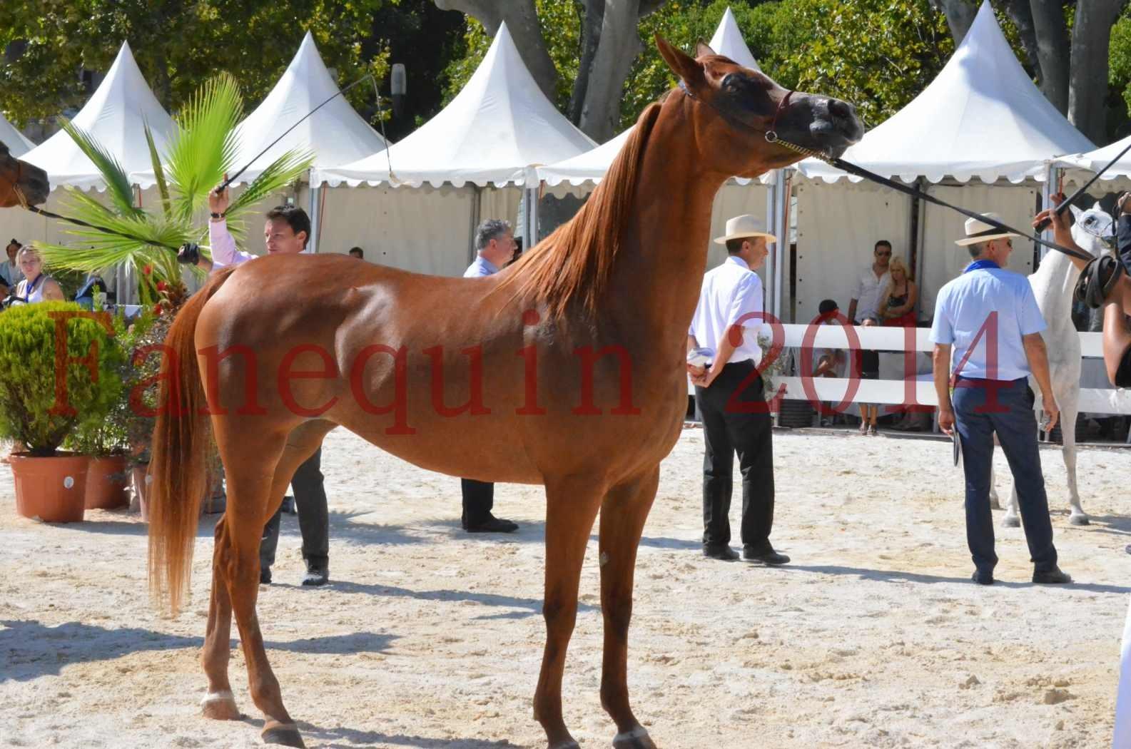 Concours National de Nîmes de chevaux ARABES 2014 - Championnat - MASSAI DE BARREL - 38