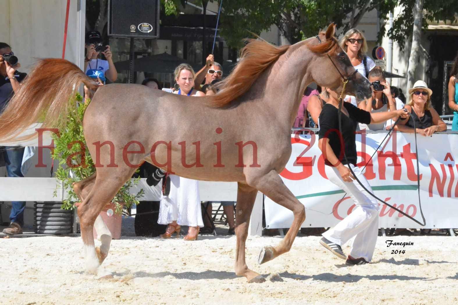 Concours National de Nîmes de chevaux ARABES 2014 - Notre Sélection - ABYSS DE RODET - 3