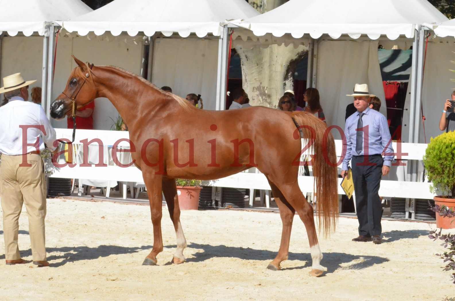 Concours National de Nîmes de chevaux ARABES 2014 - Championnat - MASSAI DE BARREL - 86