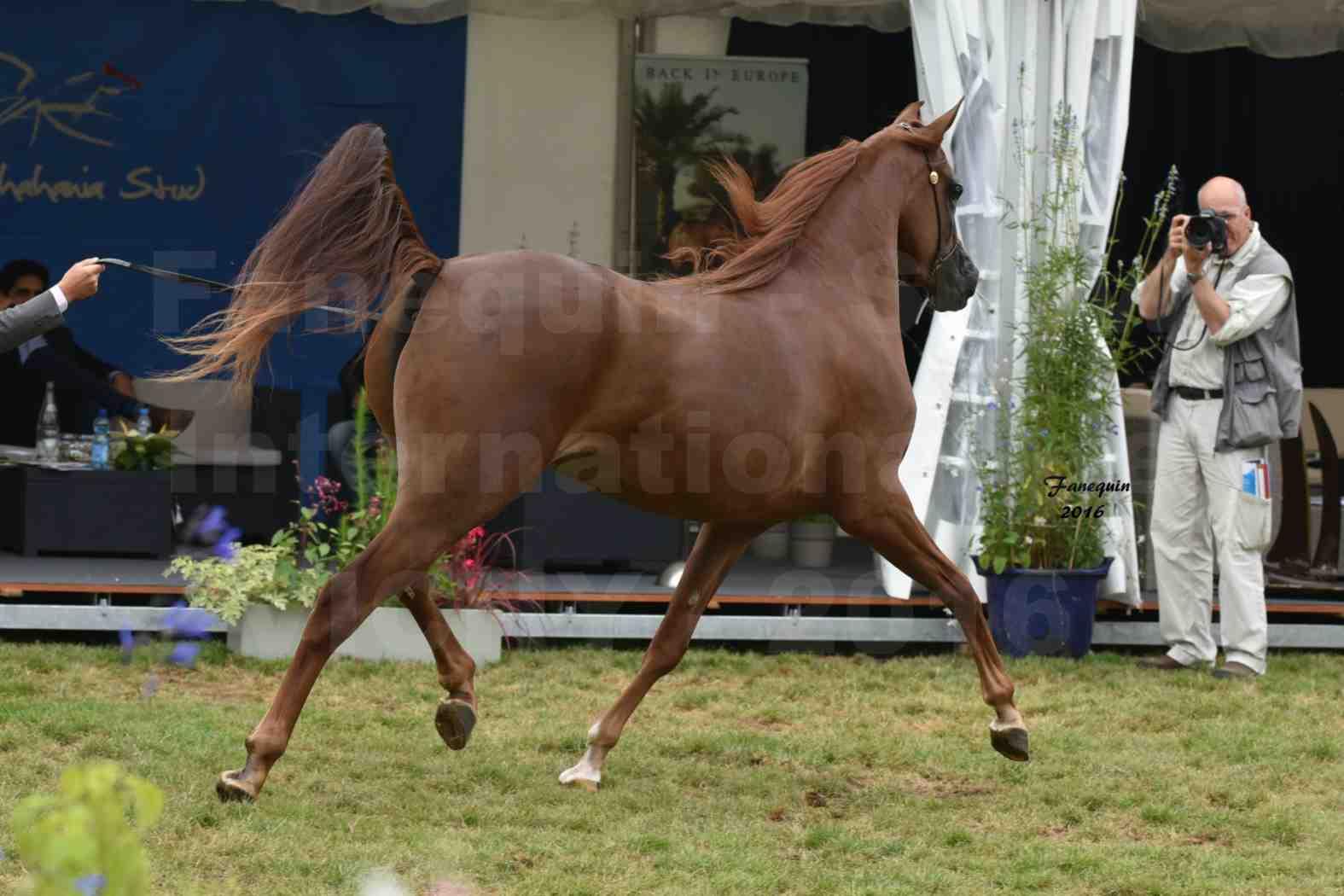 International Arabian Horse Show B de VICHY 2016 - PEARL DE DJOON - Notre Sélection - 22