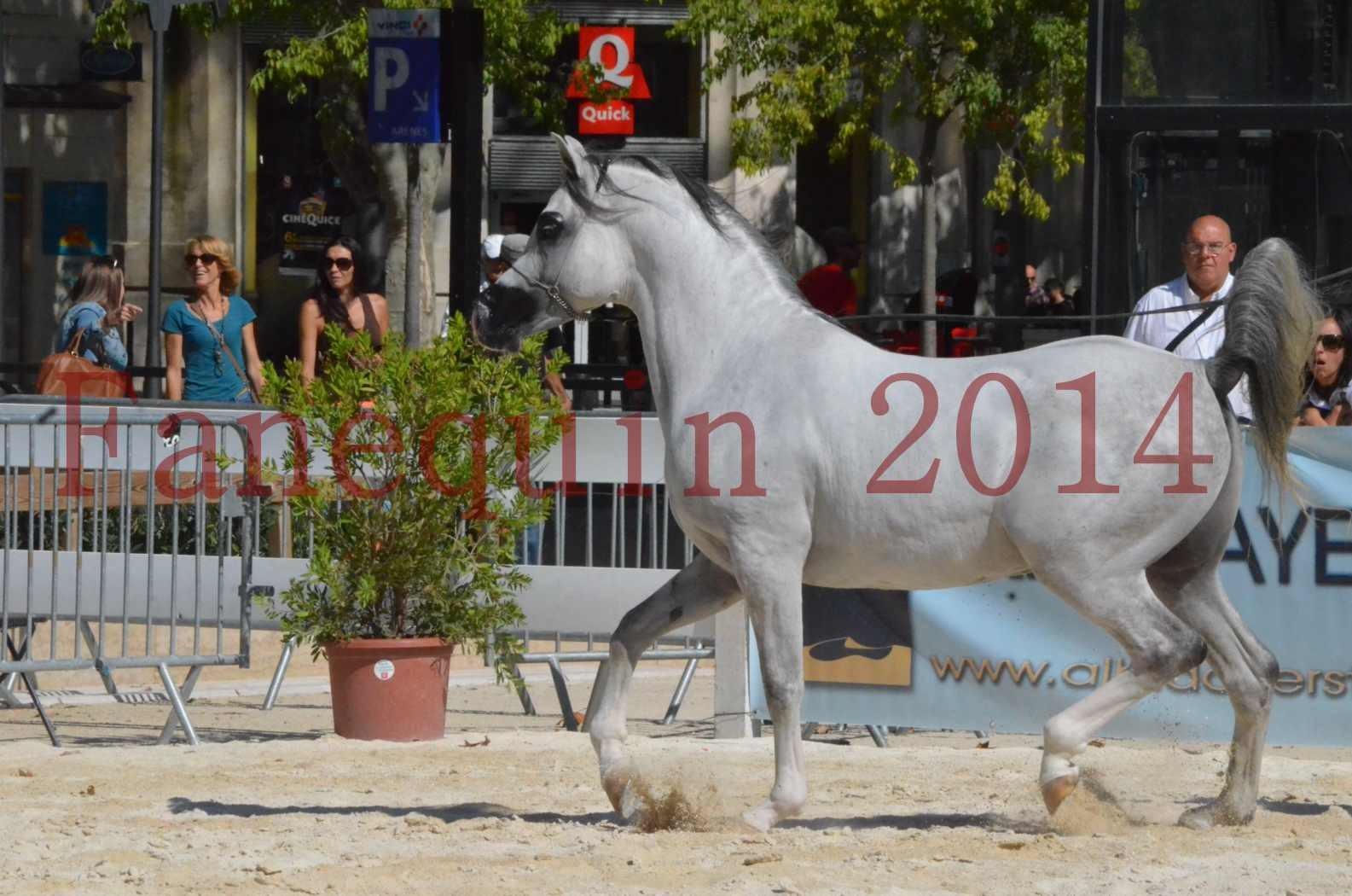 Concours National de Nîmes de chevaux ARABES 2014 - Sélection - SHAOLIN DE NEDJAIA - 43