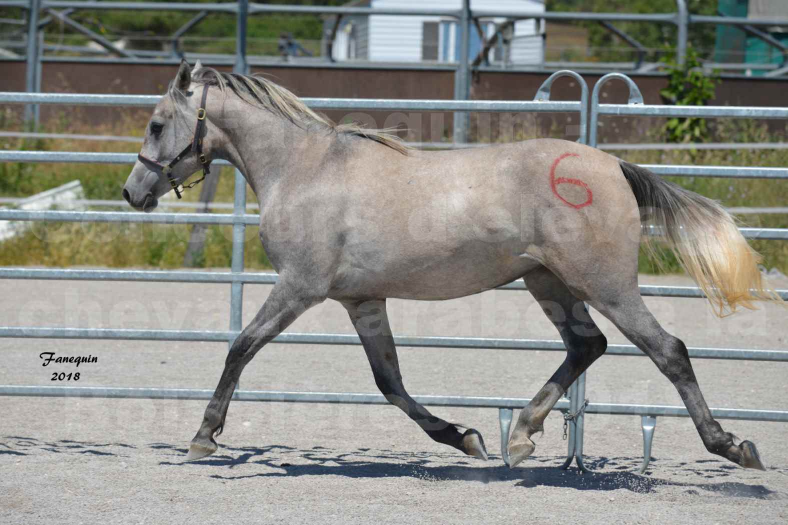 Concours d'Elevage de chevaux Arabes  le 27 juin 2018 à la BOISSIERE - GAZAK D'AURIERES - 07