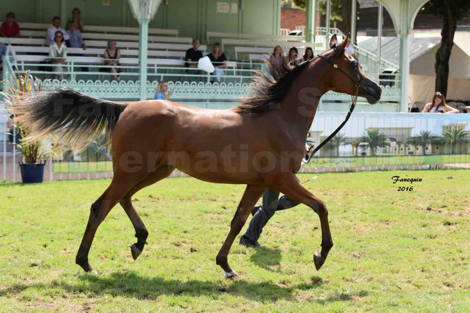 International Arabian Horse Show B de VICHY 2016 - ASRAR MS - Notre Sélection - 4