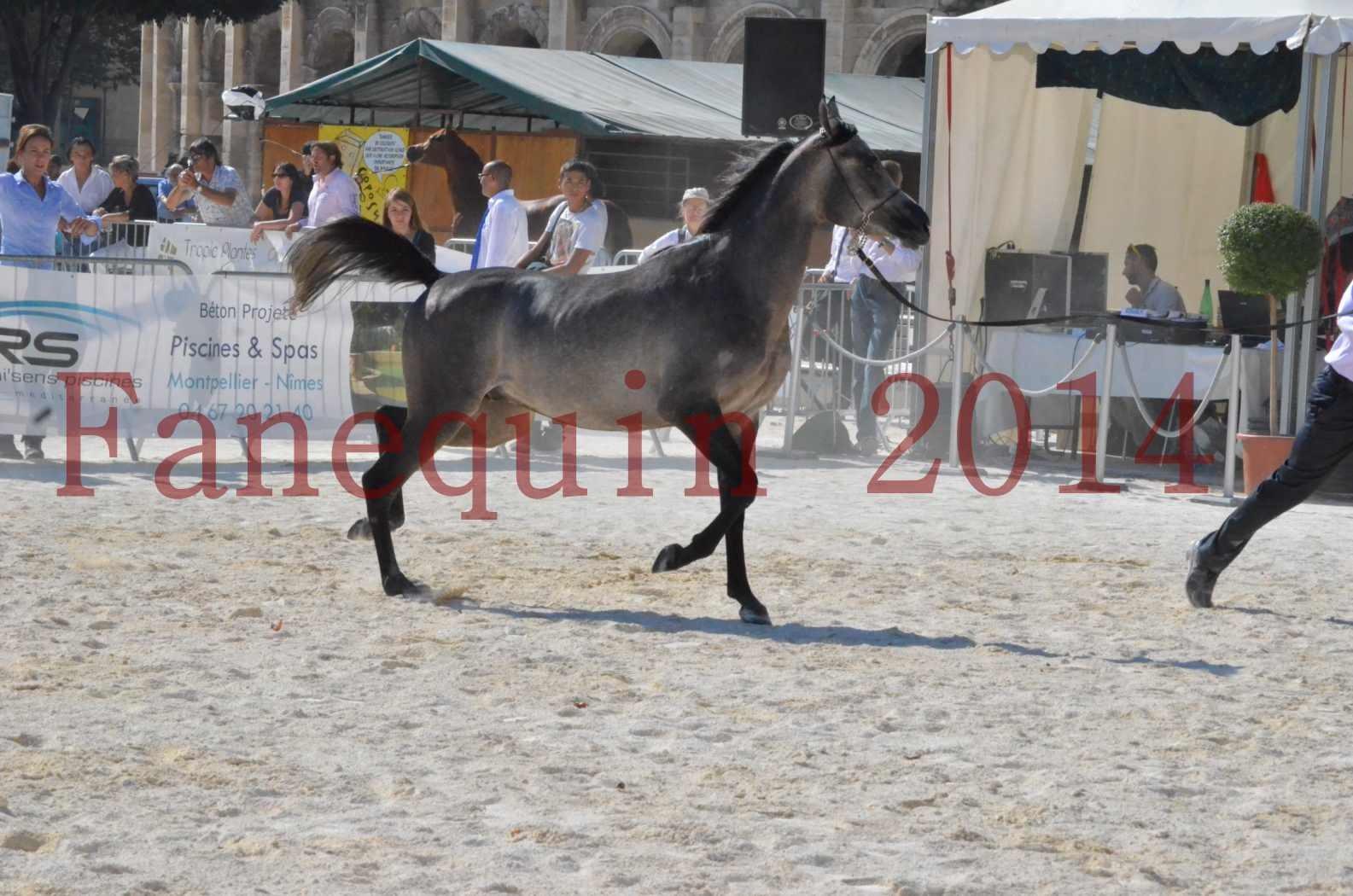 Concours National de Nîmes de chevaux ARABES 2014 - Championnat - JOSEPH'S BOUZIOLS - C 07