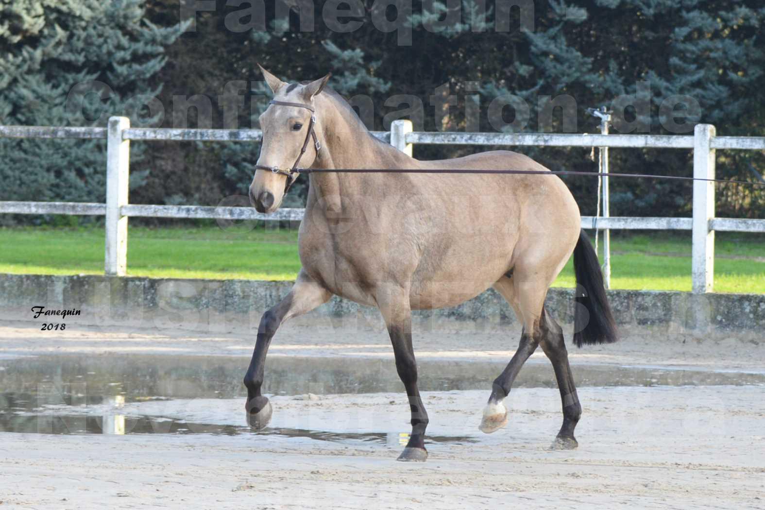 Confirmation de chevaux LUSITANIENS aux Haras d'UZES Novembre 2018 - DISTINTE - 5