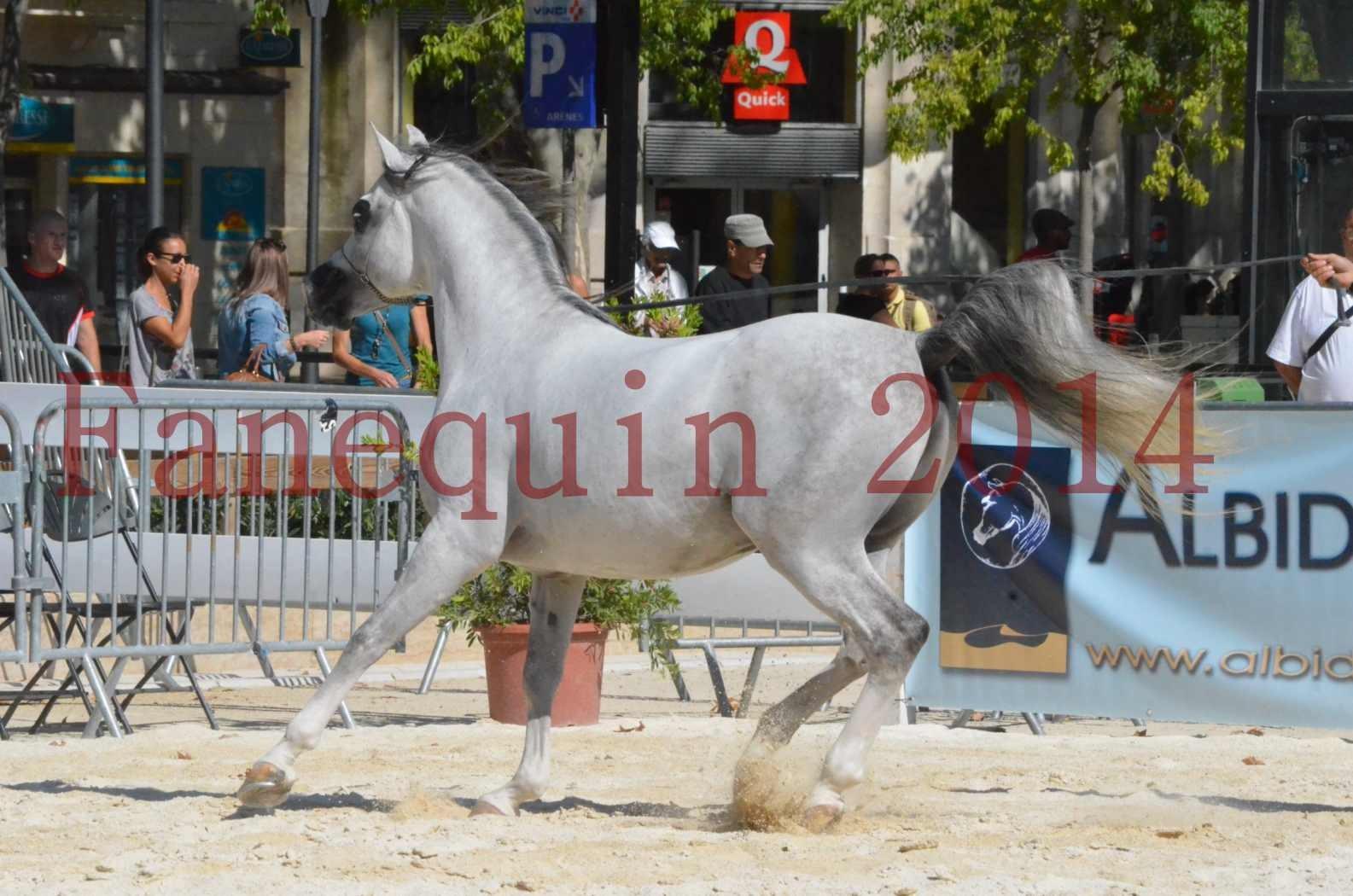 Concours National de Nîmes de chevaux ARABES 2014 - Sélection - SHAOLIN DE NEDJAIA - 44