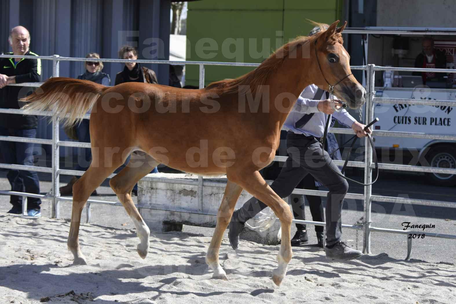 Concours d'élevage de Chevaux Arabes - D S A - A A - ALBI les 6 & 7 Avril 2018 - MARCUS DE LAFON - Notre Sélection - 2