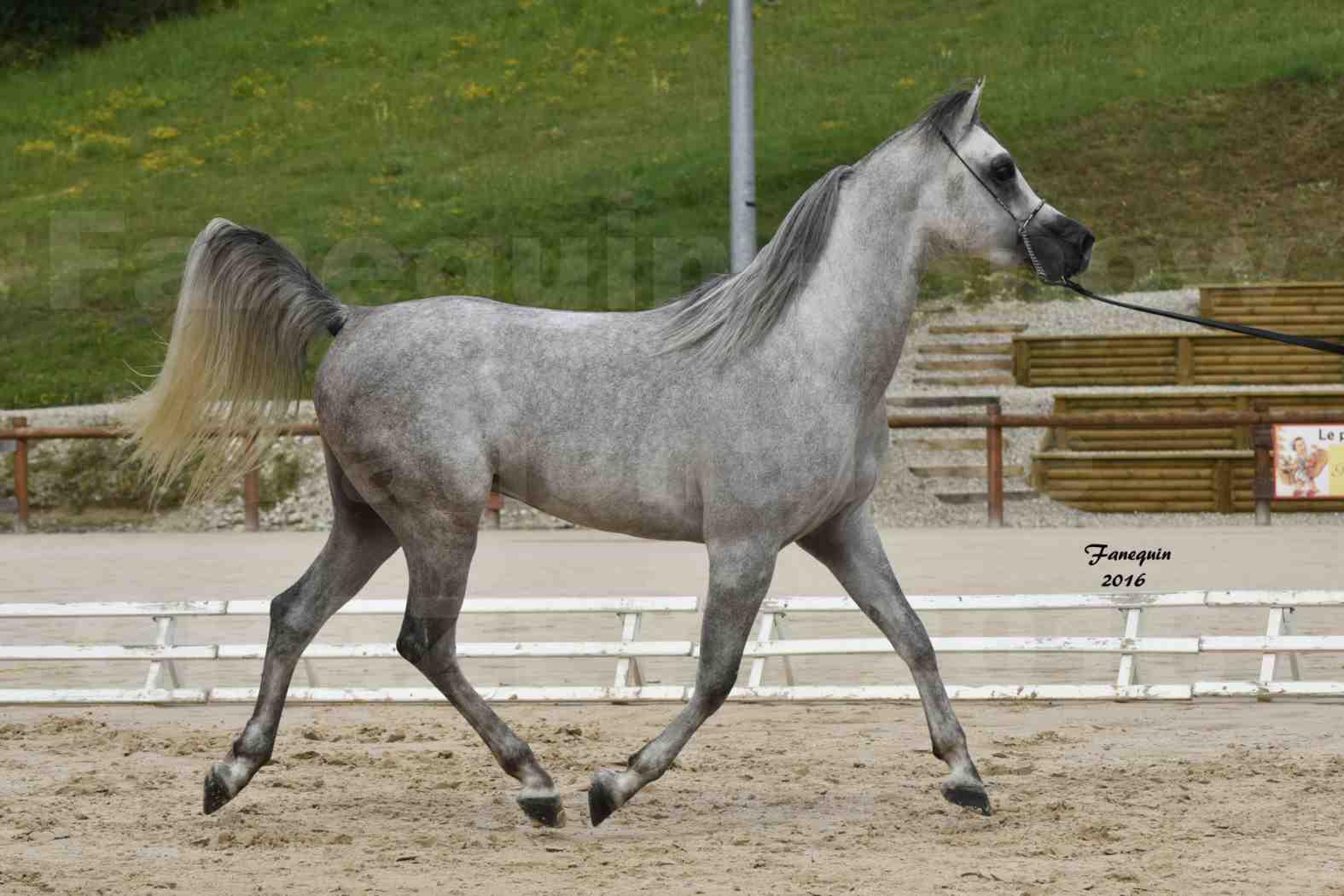 Show national de chevaux arabe à CHAZEY sur AIN - ANWAR ISHANE - 3