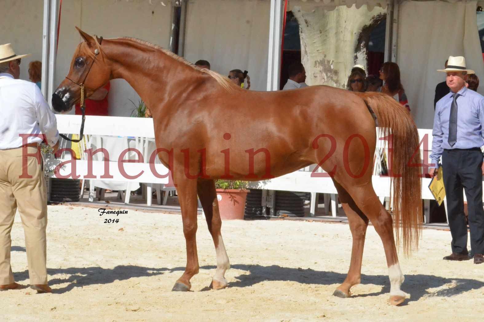 Concours National de Nîmes de chevaux ARABES 2014 - Notre Sélection - MASSAI DE BARREL - 13