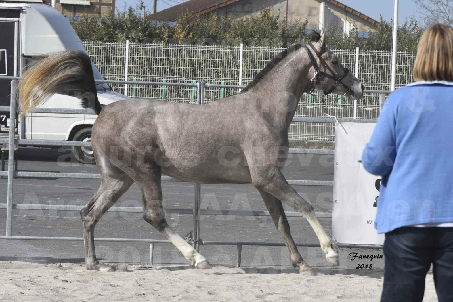 Concours d'élevage de Chevaux Arabes - D. S. A. - A. A. - ALBI les 6 & 7 Avril 2018 - GRIMM DE DARRA - Notre Sélection - 2