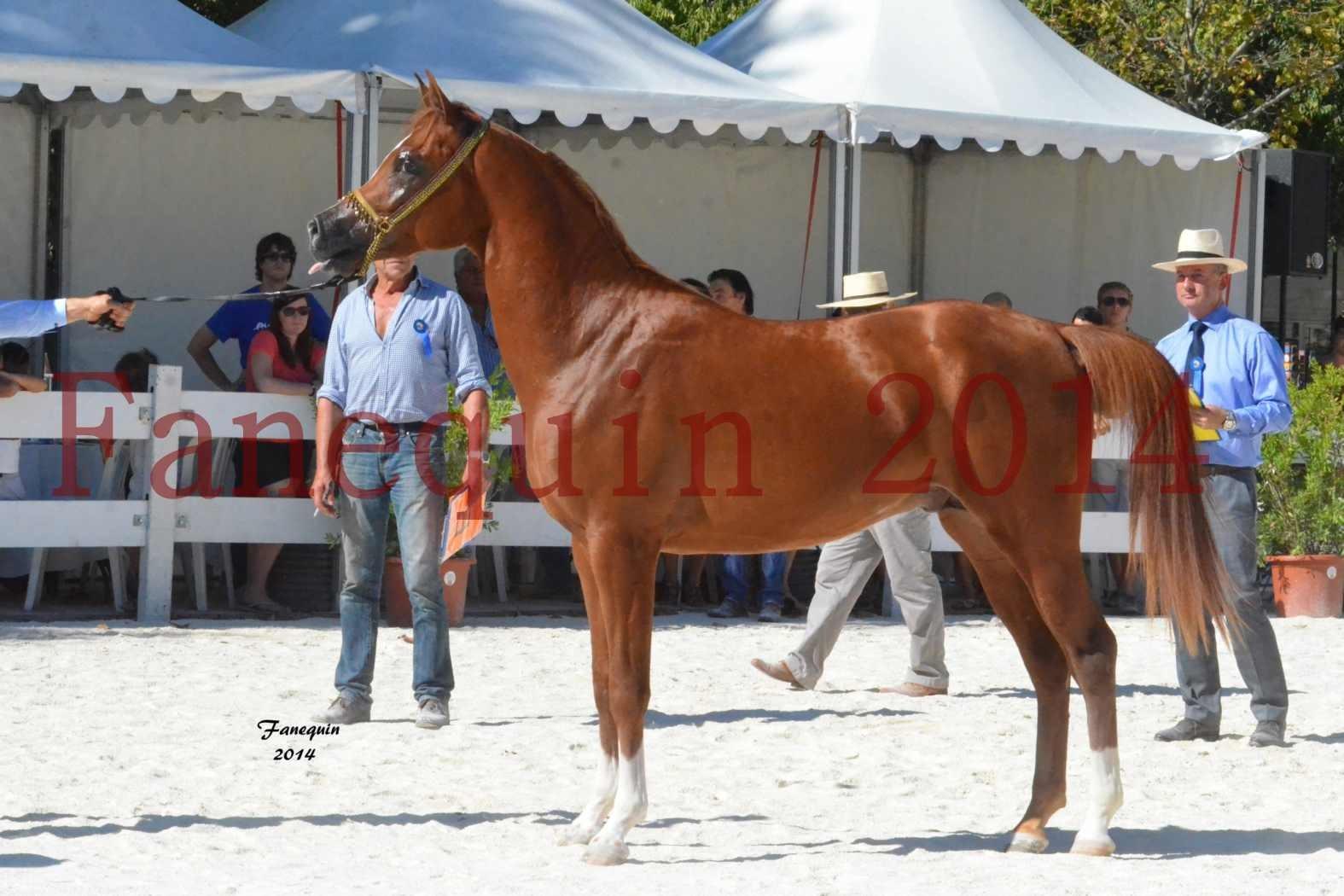 Concours National de Nîmes de chevaux ARABES 2014 - Notre Sélection - DZHARI NUNKI - 02
