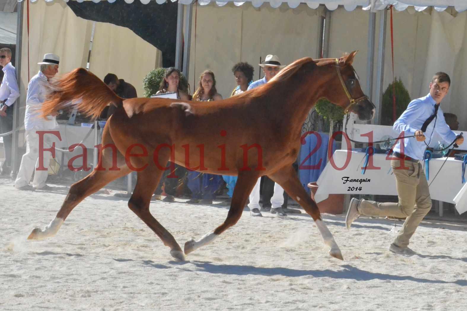 Concours National de Nîmes de chevaux ARABES 2014 - Notre Sélection - DZHARI NUNKI - 09