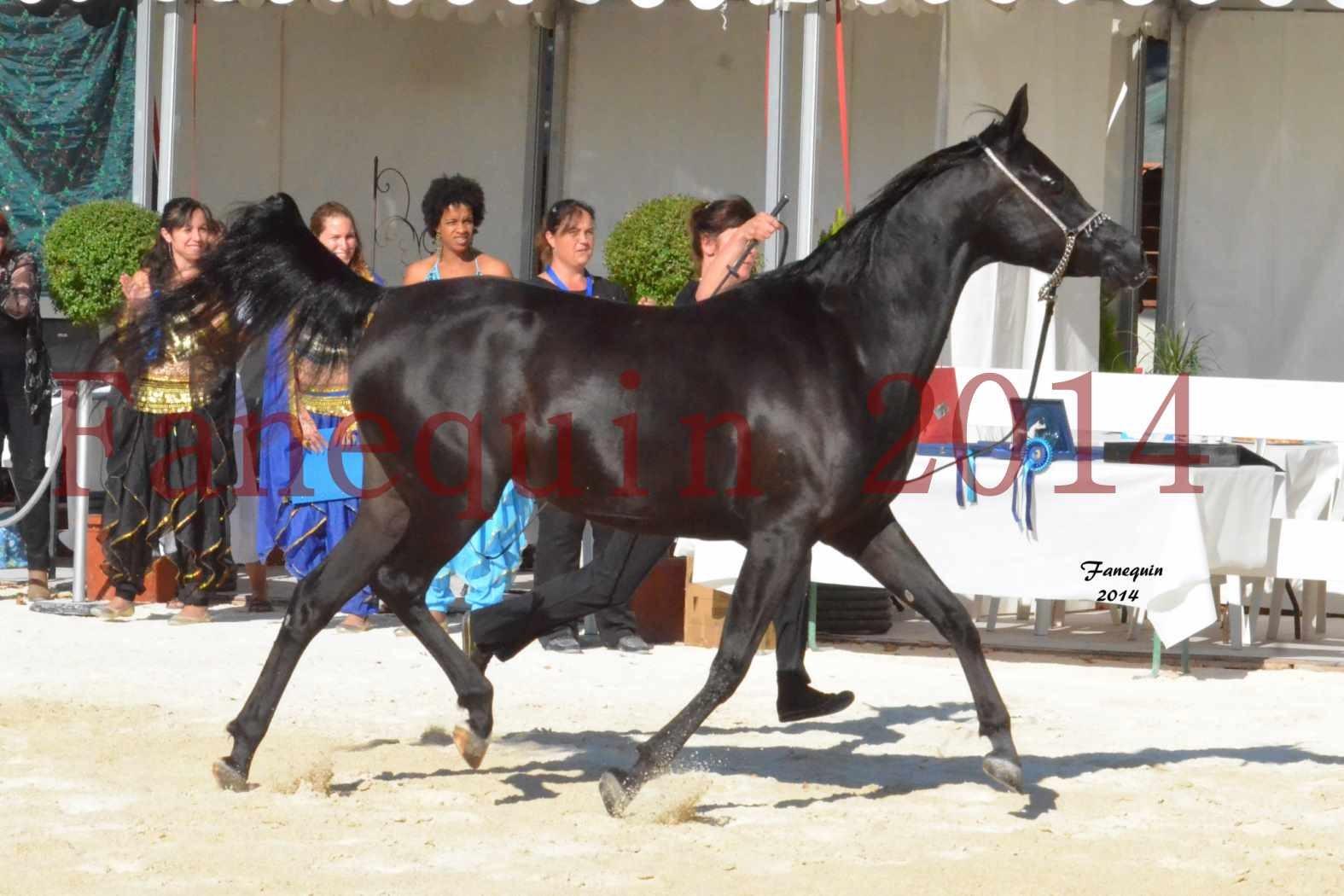 Concours National de Nîmes de chevaux ARABES 2014 - Notre Sélection - COLKAZEENIA DU SOLEIL - 2
