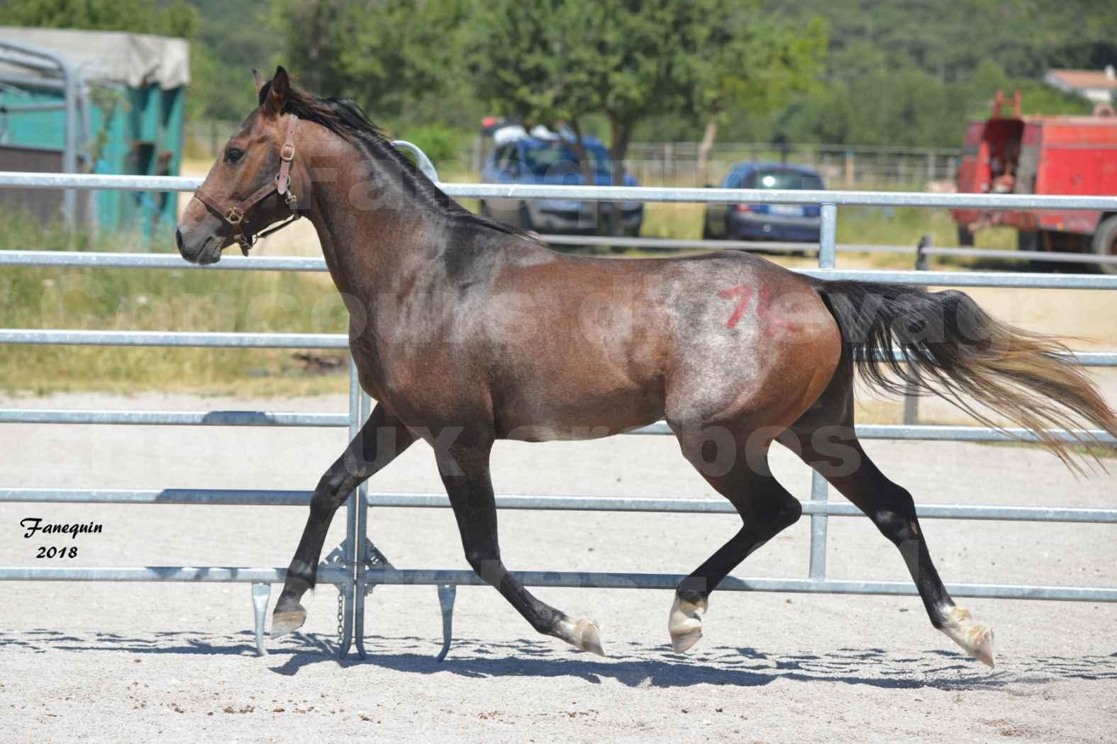Concours d'Elevage de chevaux Arabes  le 27 juin 2018 à la BOISSIERE - DORKKAN DE FIGNOLS - 04