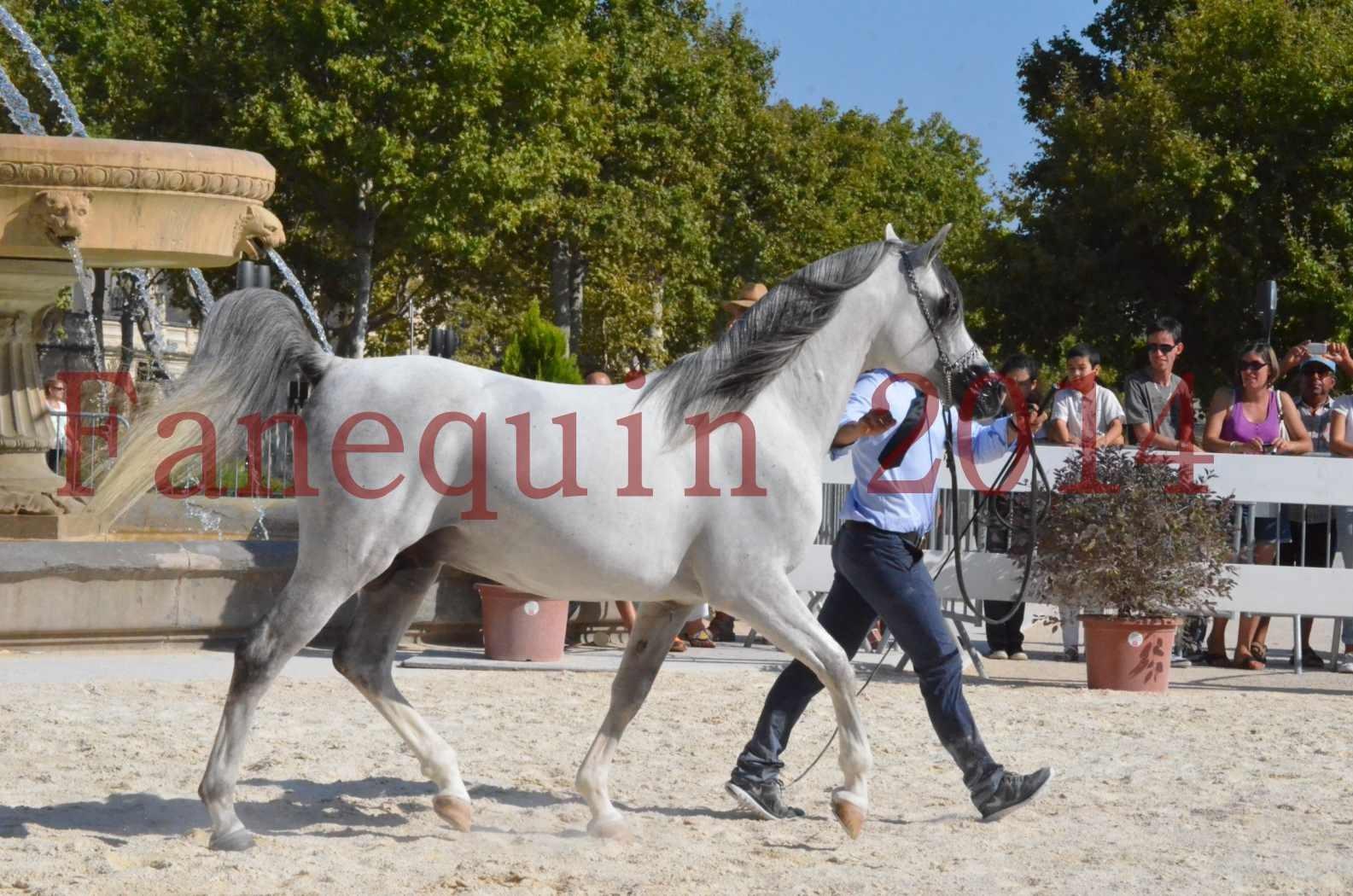 Concours National de Nîmes de chevaux ARABES 2014 - Championnat - SHAOLIN DE NEDJAIA - 50
