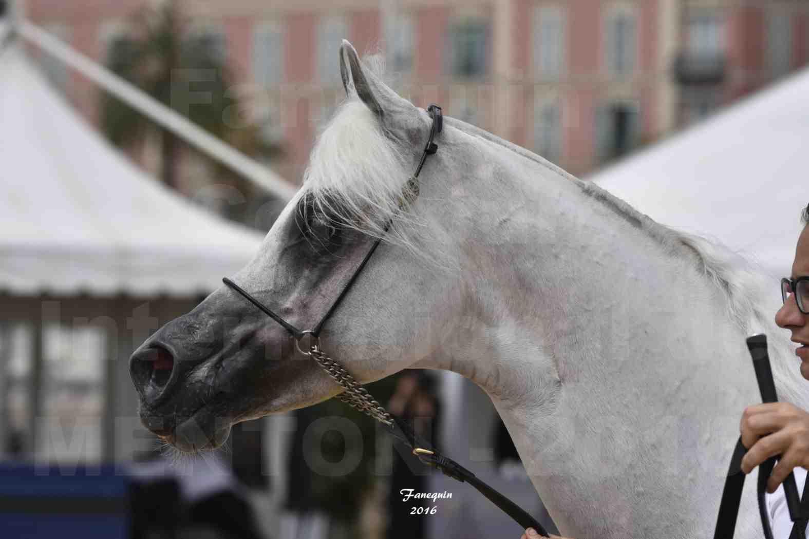 Show International de chevaux ARABES de MENTON 2016 - AJA ANGELO - Notre Sélection - Portraits - 12