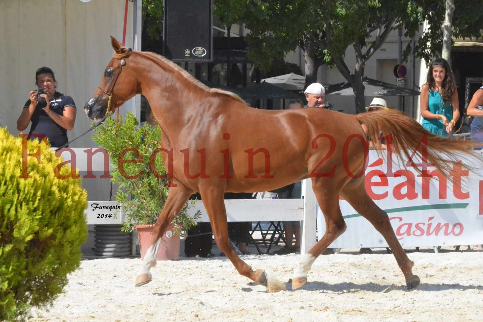 Concours National de Nîmes de chevaux ARABES 2014 - Notre Sélection - MASSAI DE BARREL - 02