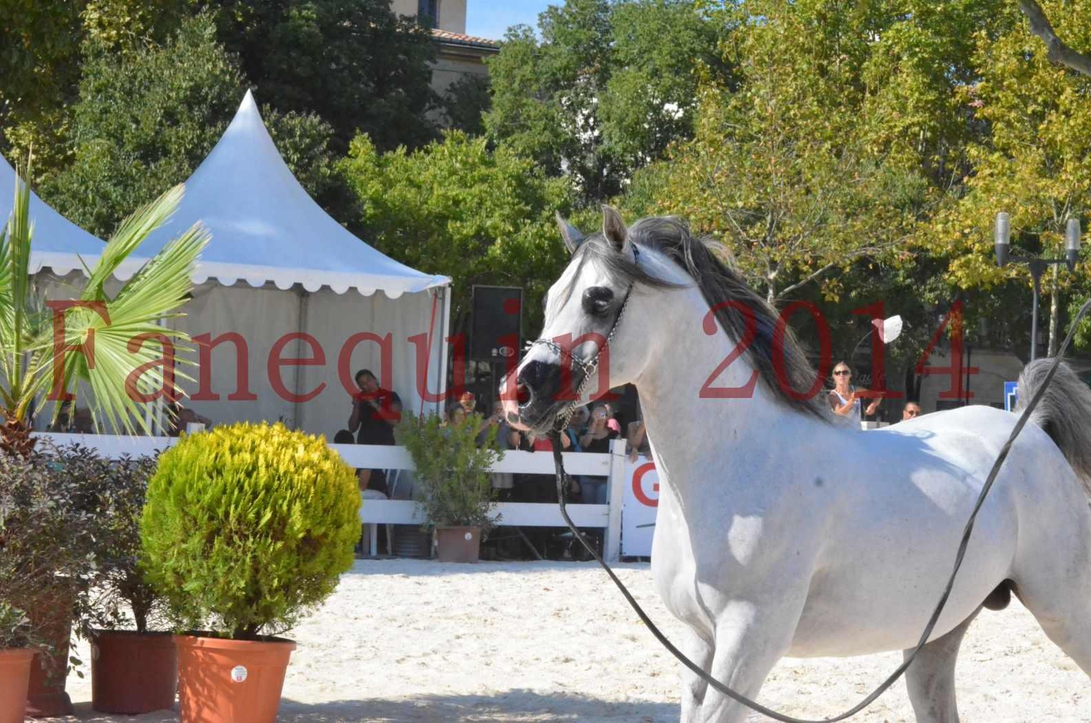 Concours National de Nîmes de chevaux ARABES 2014 - Championnat - SHAOLIN DE NEDJAIA - 30