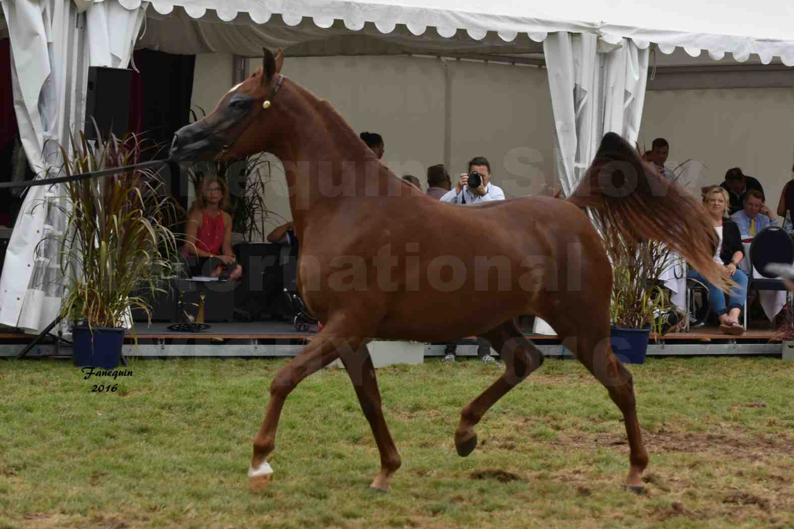 International Arabian Horse Show B de VICHY 2016 - PEARL DE DJOON - Notre Sélection - 23