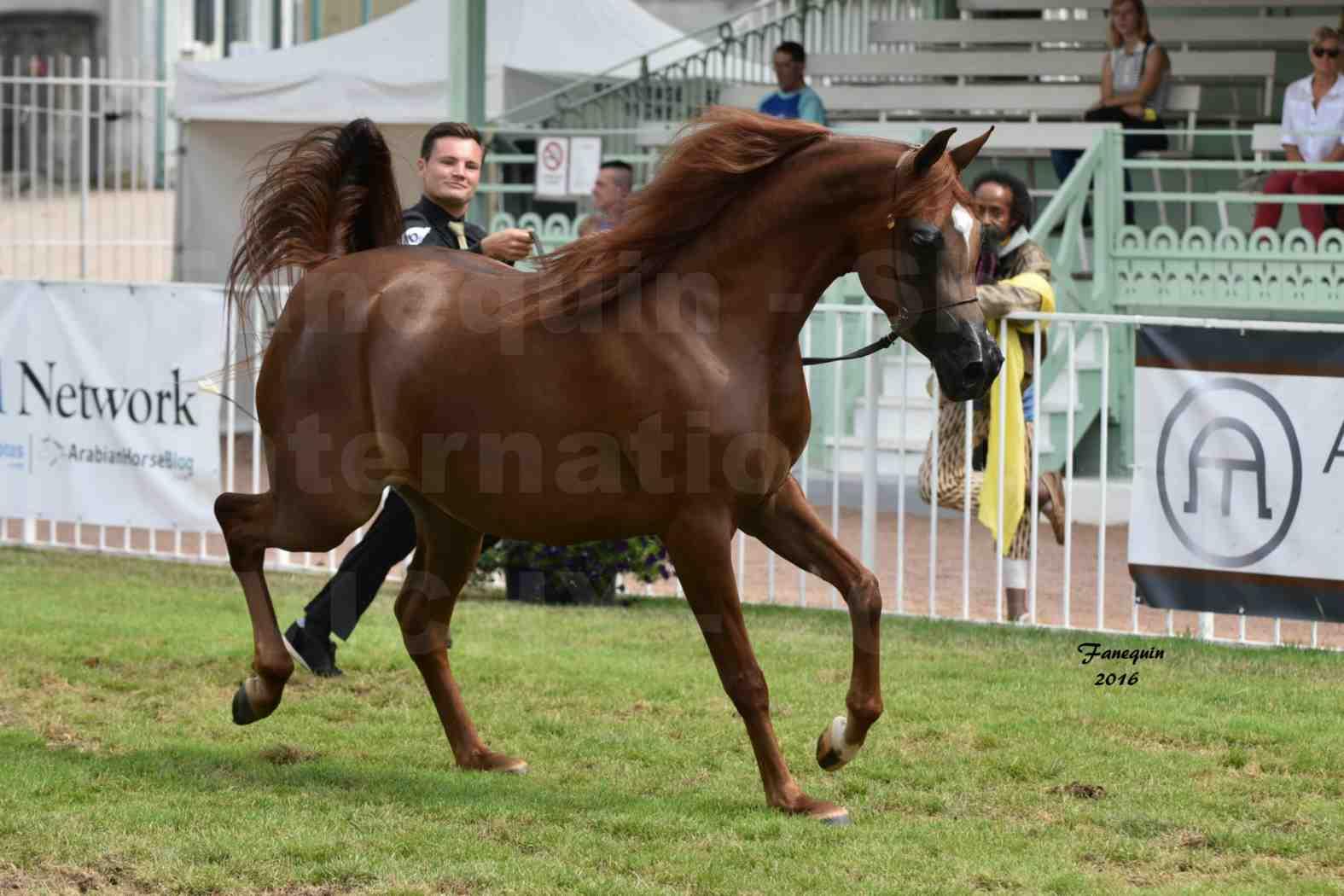 International Arabian Horse Show B de VICHY 2016 - PEARL DE DJOON - Notre Sélection - 30