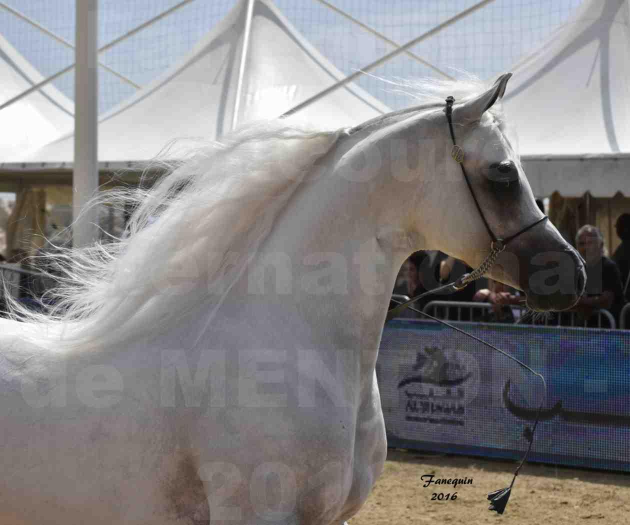Show International de chevaux ARABES de MENTON 2016 - AJA ANGELO - Notre Sélection - Portraits - 04
