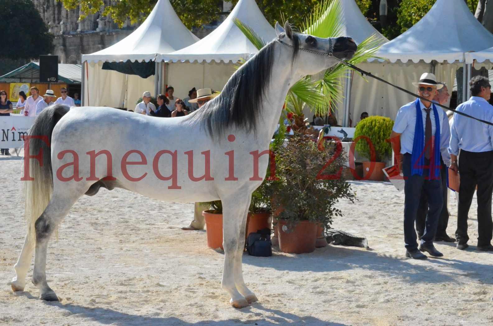 Concours National de Nîmes de chevaux ARABES 2014 - Championnat - SHAOLIN DE NEDJAIA - 41