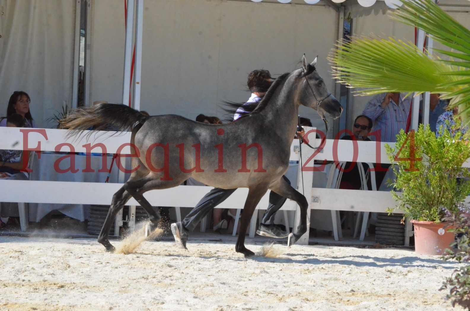 Concours National de Nîmes de chevaux ARABES 2014 - Championnat - JOSEPH'S BOUZIOLS - C 13