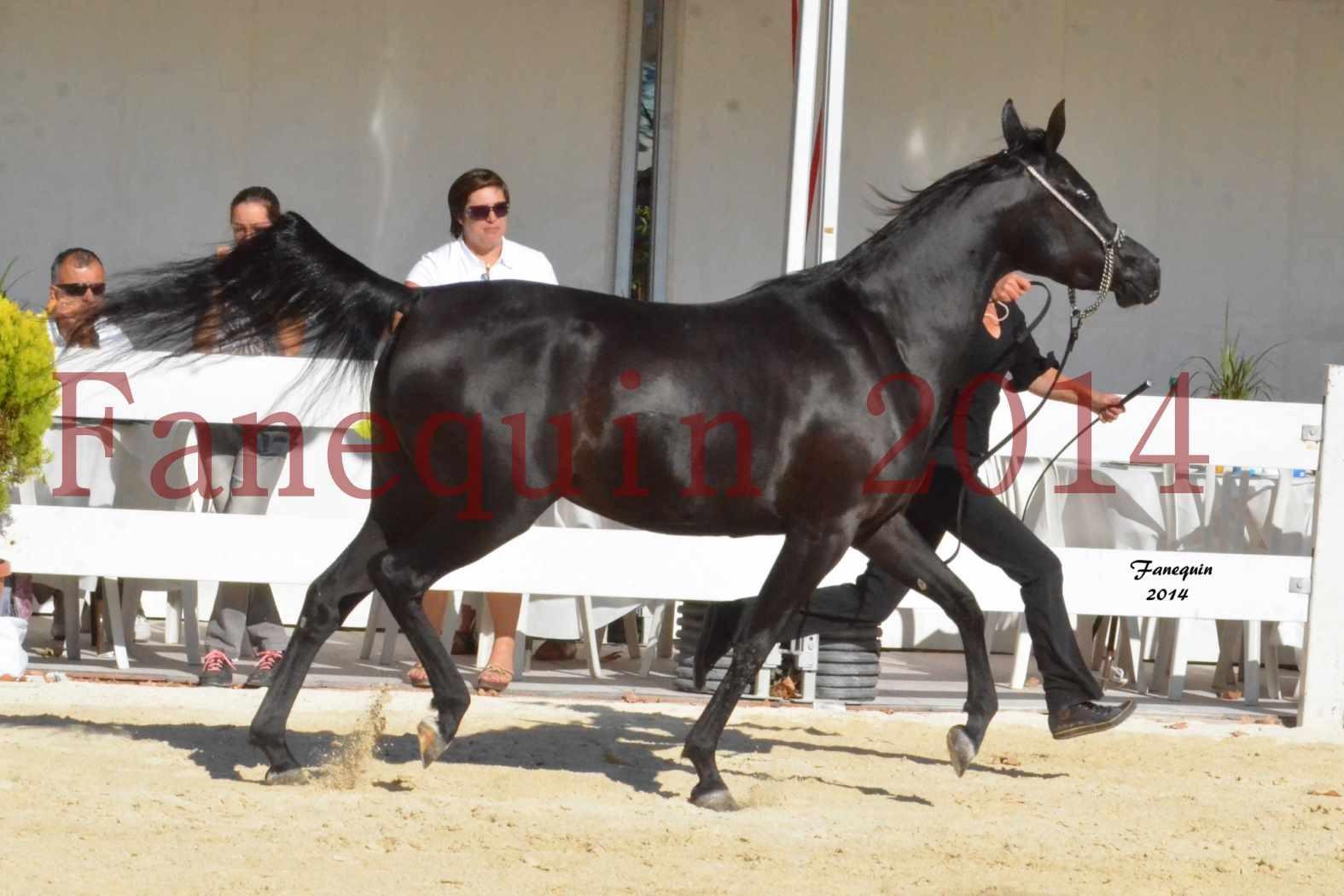 Concours National de Nîmes de chevaux ARABES 2014 - Notre Sélection - COLKAZEENIA DU SOLEIL - 4