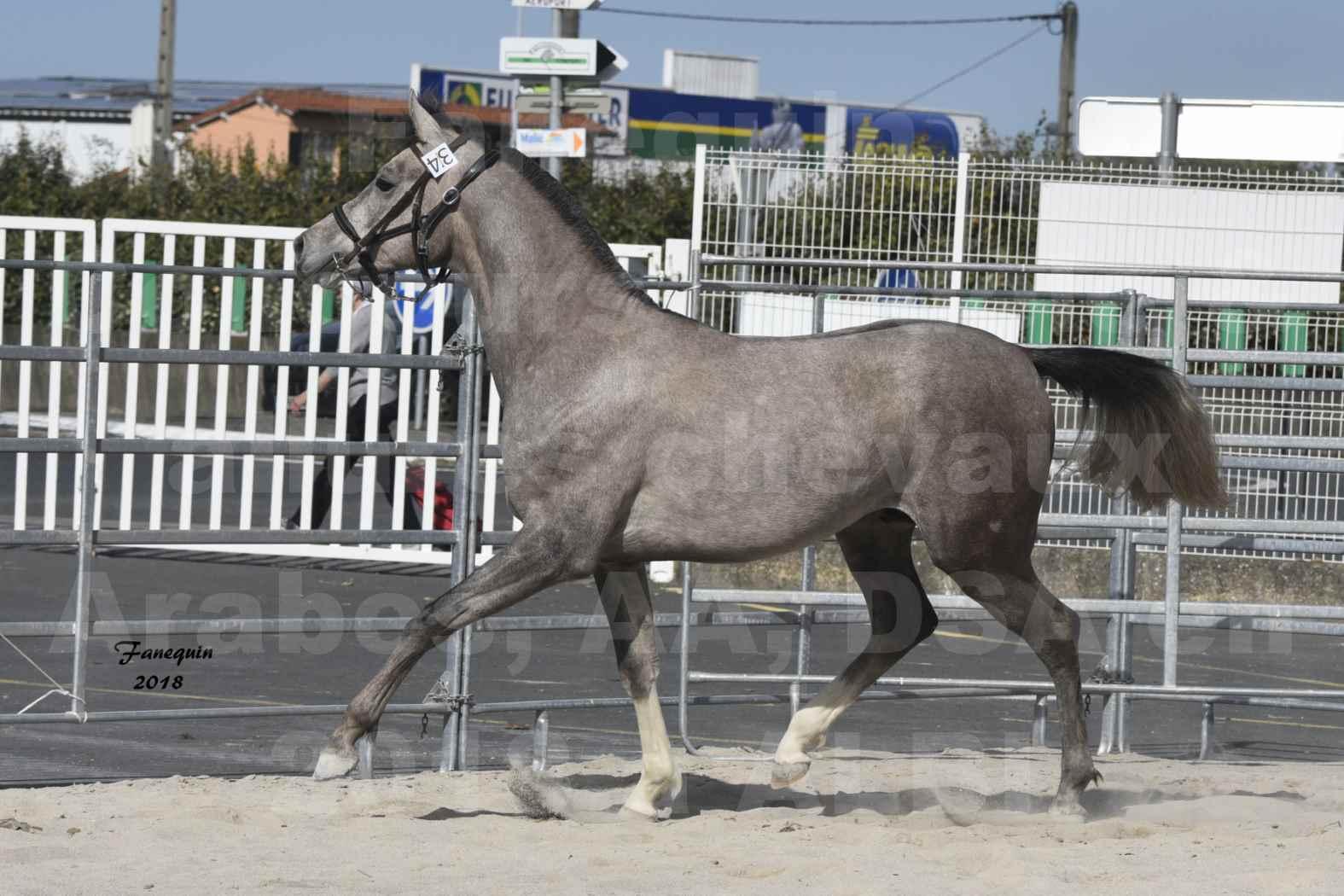 Concours d'élevage de Chevaux Arabes - D. S. A. - A. A. - ALBI les 6 & 7 Avril 2018 - GRIMM DE DARRA - Notre Sélection - 6