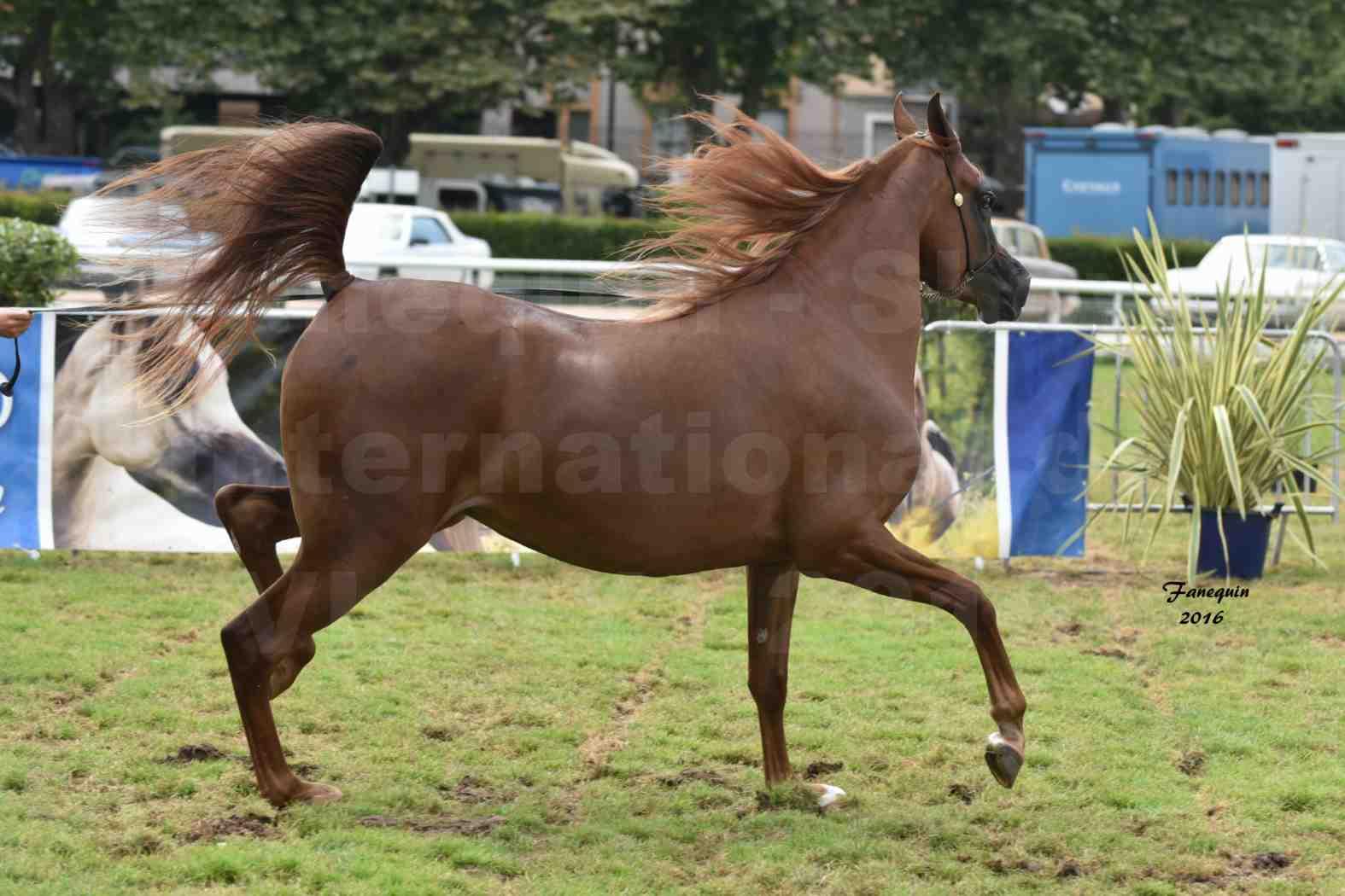 International Arabian Horse Show B de VICHY 2016 - PEARL DE DJOON - Notre Sélection - 38