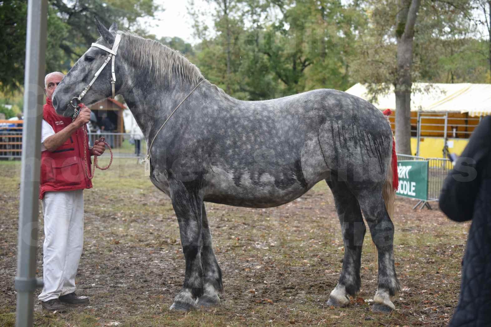 Concours Régional de chevaux de traits en 2017 - Pouliche Trait PERCHERON - ÉCAILLE DU RAMIER - 08