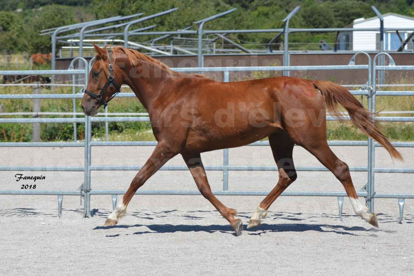 Concours d'Elevage de chevaux Arabes  le 27 juin 2018 à la BOISSIERE - FINLEY DES DOLINES - 05