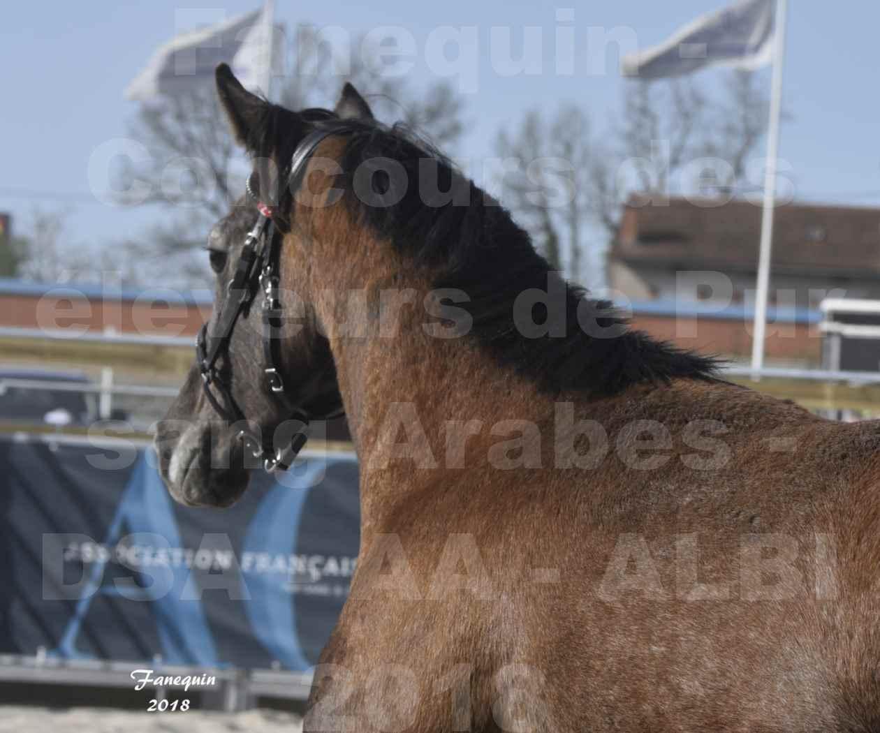 Concours d'élevage de Chevaux Arabes - Demi Sang Arabes - Anglo Arabes - ALBI les 6 & 7 Avril 2018 - GOUMRI DE L'AIGOUAL - Notre Sélection Portraits - 2