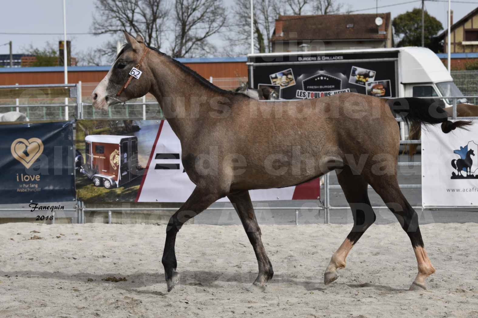 Concours d'élevage de Chevaux Arabes - D. S. A. - A. A. - ALBI les 6 & 7 Avril 2018 - FLORIA DU PUECH - Notre Sélection 02