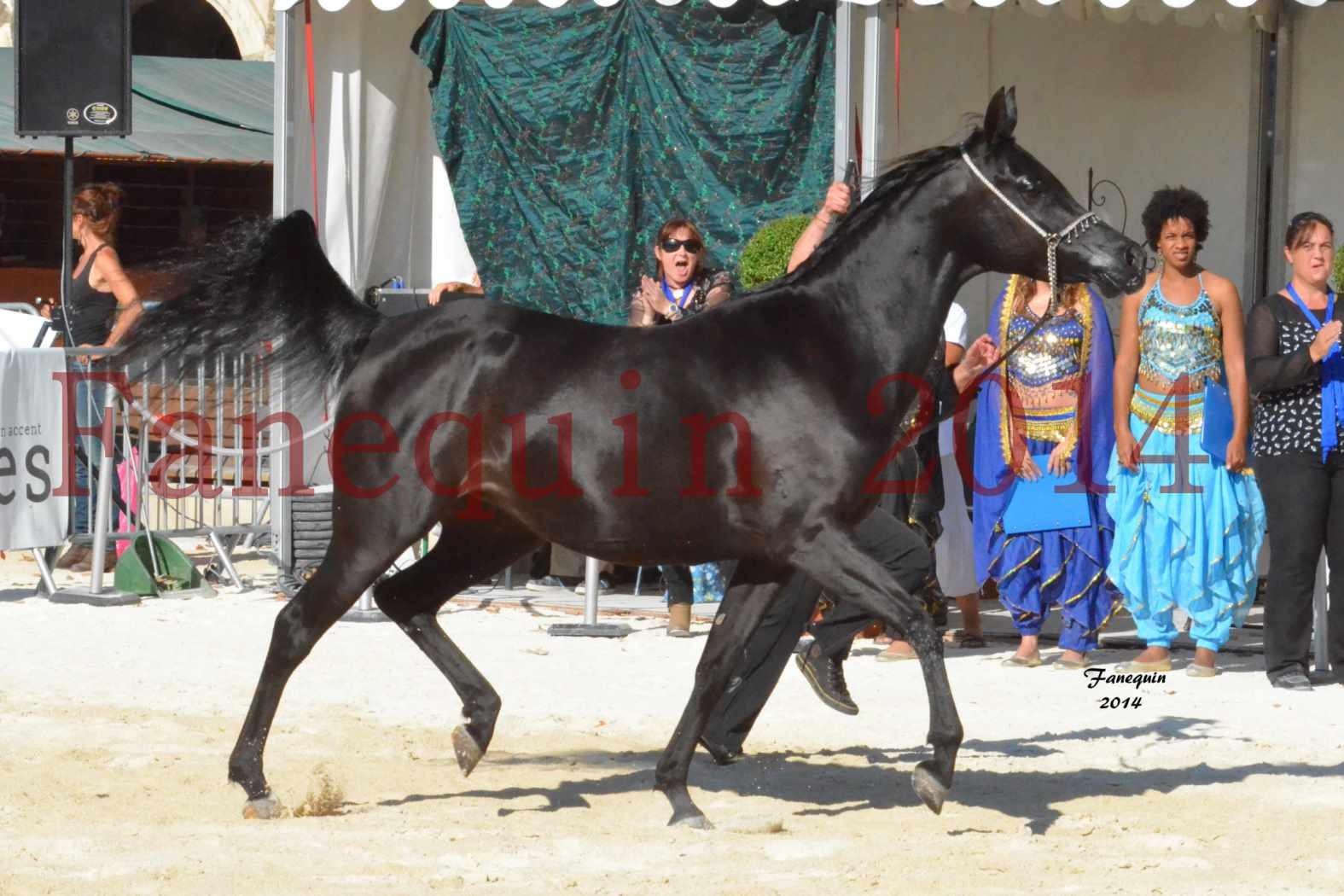 Concours National de Nîmes de chevaux ARABES 2014 - Notre Sélection - COLKAZEENIA DU SOLEIL - 1