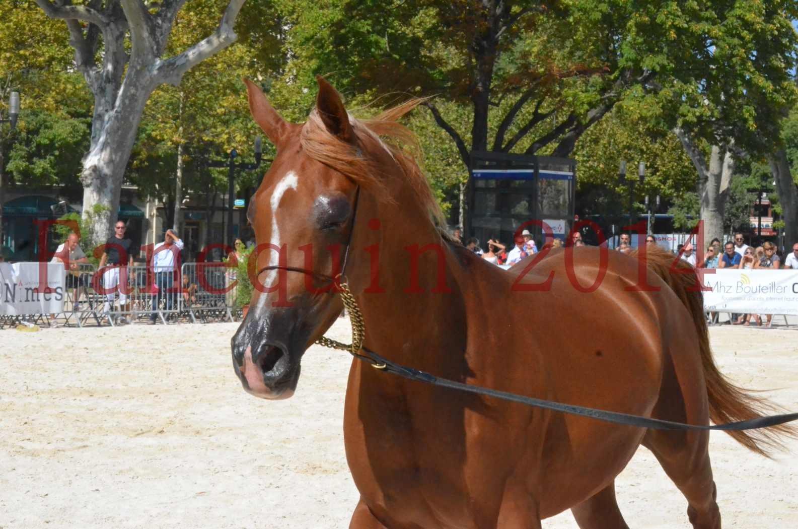 Concours National de Nîmes de chevaux ARABES 2014 - Championnat - MASSAI DE BARREL - 35