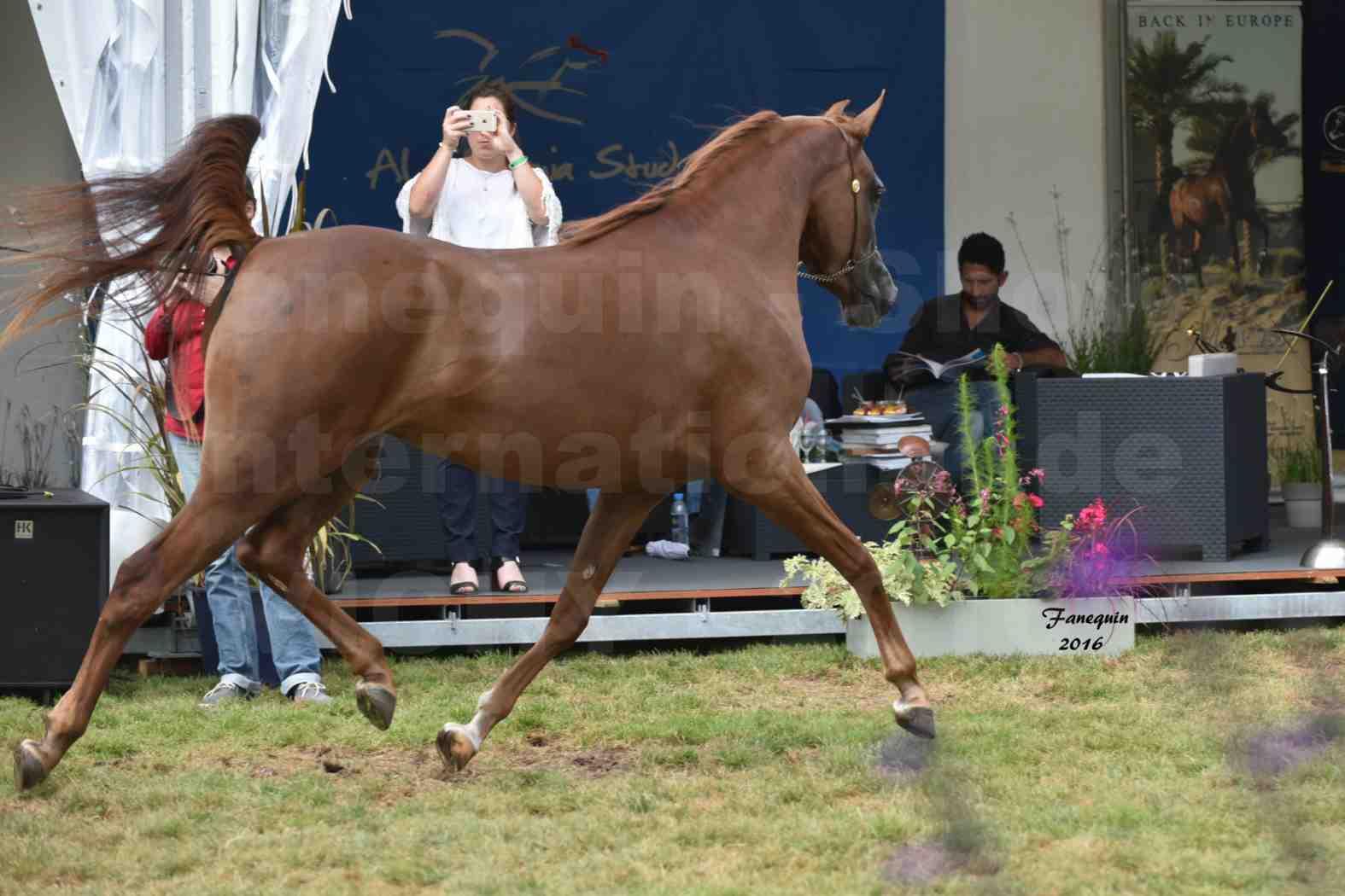 International Arabian Horse Show B de VICHY 2016 - PEARL DE DJOON - Notre Sélection - 39