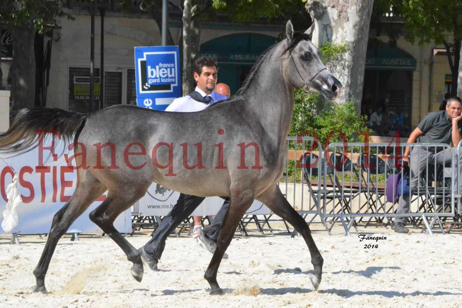 Concours National de Nîmes de chevaux ARABES 2014 - Notre Sélection - JOSEPH'S BOUZIOLS - 09
