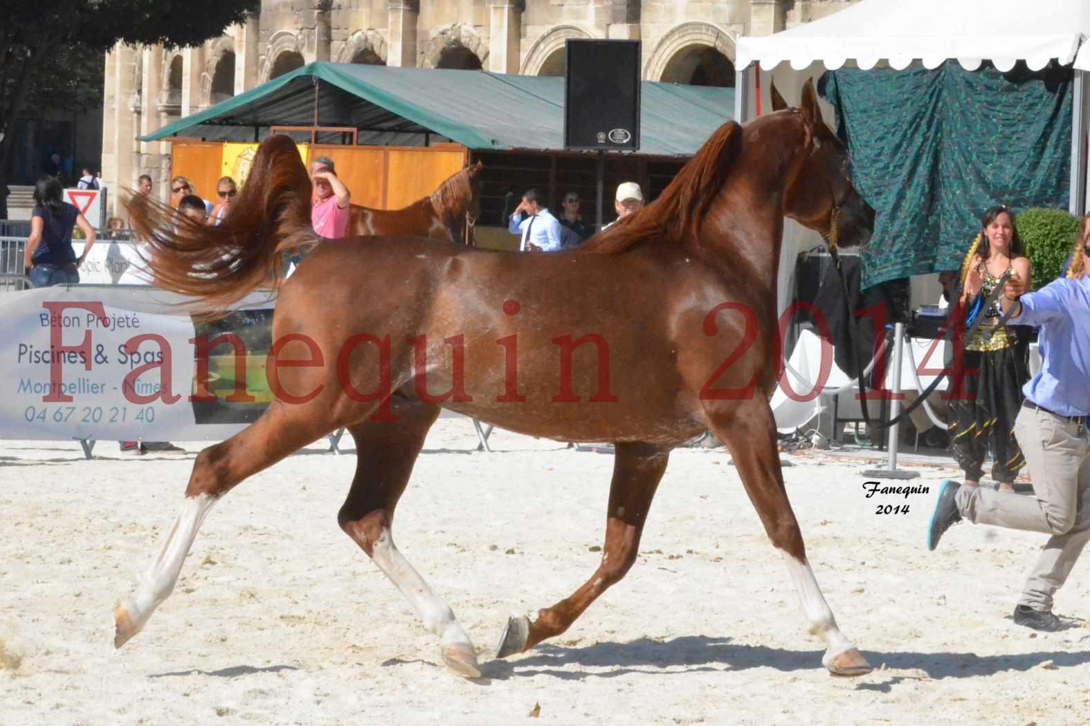 Concours National de Nîmes de chevaux ARABES 2014 - Notre Sélection - AINHOA LE BASQUE - 2