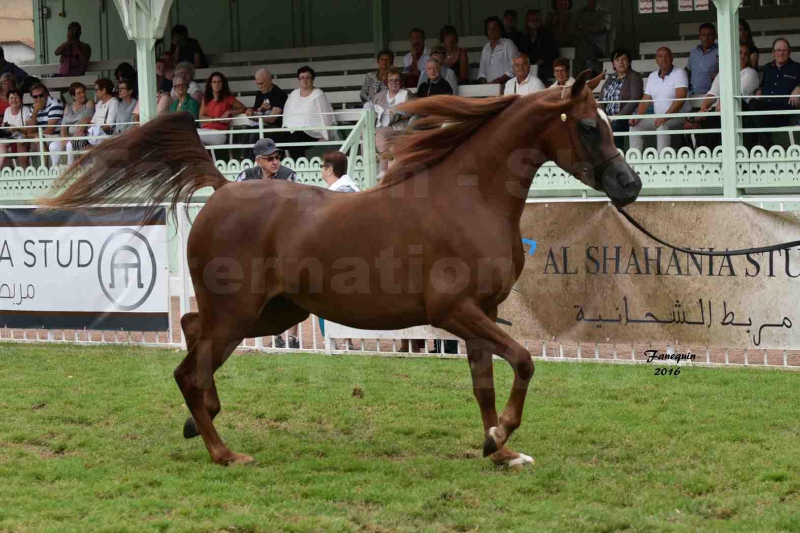International Arabian Horse Show B de VICHY 2016 - PEARL DE DJOON - Notre Sélection - 02